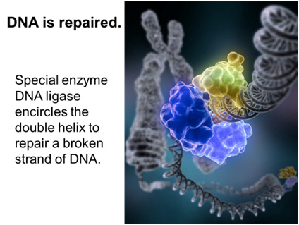 dna-repaired